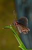 VariableSwallowtail-UF-ButterflyRainforest-2016-SJS-001