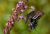 SpicebushSwallowtail-OcalaNF-9-4-20-sjs-002