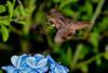 Hummingbird-HawkMoth-LYE-9-17-19-SJS-007
