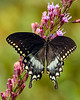 SpicebushSwallowtail-OcalaNF-9-4-20-sjs-007