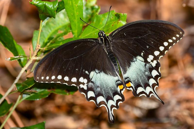 SpicebushSwallowtail-SawgrassIsland-5-13-20-SJS-01