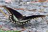 SpicebushSwallowtail-PineMeadowsConservationArea-9-13-20-sjs-002