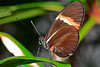 Postman-UF-ButterflyRainforest-2016-SJS-004
