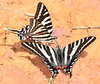 ZebraSwallowtail-OcalaNF-3-20-20-SJS-005