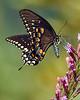 SpicebushSwallowtail-OcalaNF-9-4-20-sjs-009