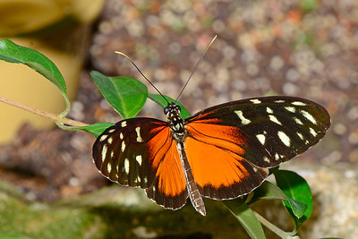 HecaleLongwing-UF-ButterflyRainforest-2016-SJS-001