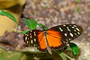 HecaleLongwing-UF-ButterflyRainforest-2016-SJS-001