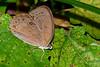 AppalachianBrown-SatyrodesAppalachia-FlatIslandReserveFL-7-8-19-SJS-002