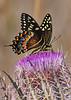 PalamedesSwallowtail-OcalaNF-3-18-20-SJS-002
