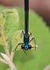 EbonyJewelwing(female)-FallingWatersSP-FL-8-19-20-sjs-002