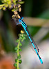 CommonBlueDamselfly-OaklandNP-9-16-19-SJS-002