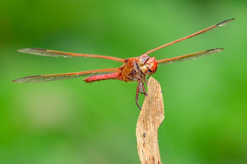 GoldenWingedSkipper(male)-OaklandNaturePreserve-6-14-19-SJS-005