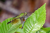 EasternPondHawk(female)-LakeYale-4-18-20-SJS-001