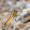Golden-WingedSkimmer(female)-LakeMayReserve-5-2-19-SJS-002
