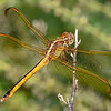 GoldenWingedSkimmer(female)-OaklandNaturePreserve-6-14-19-SJS-010
