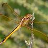 GoldenWingedSkimmer(female)-OaklandNaturePreserve-6-14-19-SJS-010