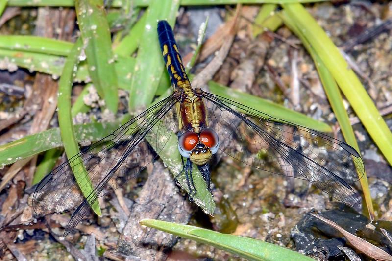 LittleBlueDragonlet(female)-OcalaNF-7-30-19-SJS-001