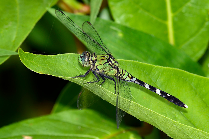 EasternPondHawk(female)-OaklandNaturePreserve-6-14-19-SJS-003