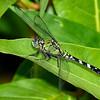 EasternPondHawk(female)-OaklandNaturePreserve-6-14-19-SJS-003