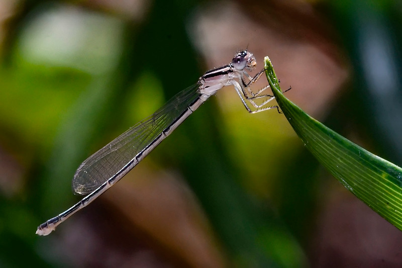 GreatSpreadwing(female)-PearPark-4-28-19-SJS-001