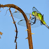 EasternPondHawk(female)-OaklandNP-7-10-19-SJS-002