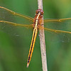 Golden-wingedSkimmer-Alabama-6-18-18-SJS-002