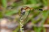 LittleBlueDragonlet(female)-OcalaNF-9-24-20-sjs-04