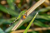 PondHawk(female)-EmeraldaMarsh-3-22-20-SJS-003