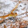 GoldenWingedSkimmer-SawgrassIsland-6-23-19-SJS-008