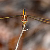 Golden-WingedSkimmer(female)SawgrassIsland-6-10-19-SJS-001
