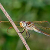 GoldenWingedSkimmer(female)-PineMeadowsCA-6-30-19-SJS-001