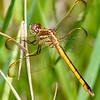 Golden-WingedSkimmer(female)SawgrassIsland-6-10-19-SJS-010