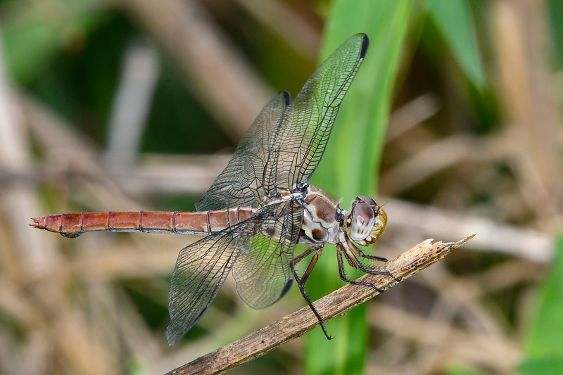 RoseateSkimmer(female)-OaklandNaturePreserve-6-14-19-SJS-006