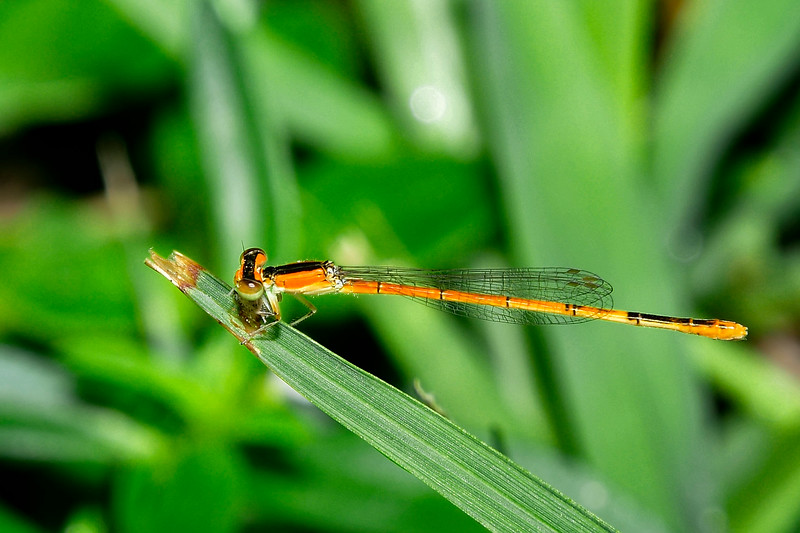 CitrineForktail(female)-LYE-8-2-19-SJS-003