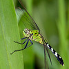 EasternPondhawk(female)-LAWD-6-7-19-SJS-001