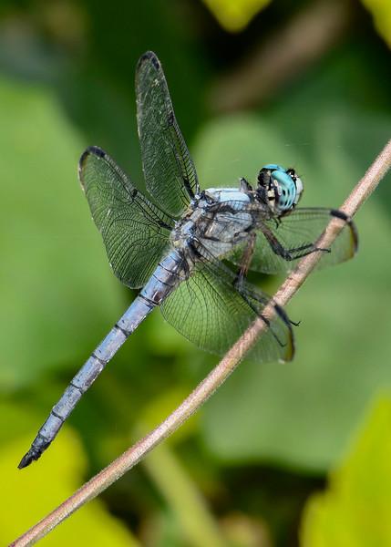 GreatBlueSkimmer(male)-OaklandNP-7-10-19-SJS-007