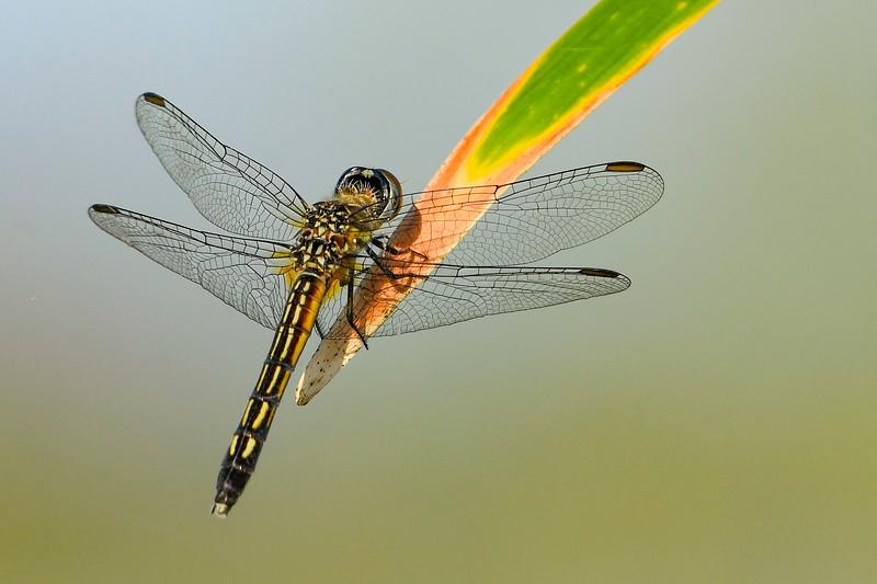 BlueDasher(male)-EmeraldaMarsh-3-22-20-SJS-003