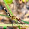 LittleBlueDragonlet(female)-OcalaNF-7-30-19-SJS-004
