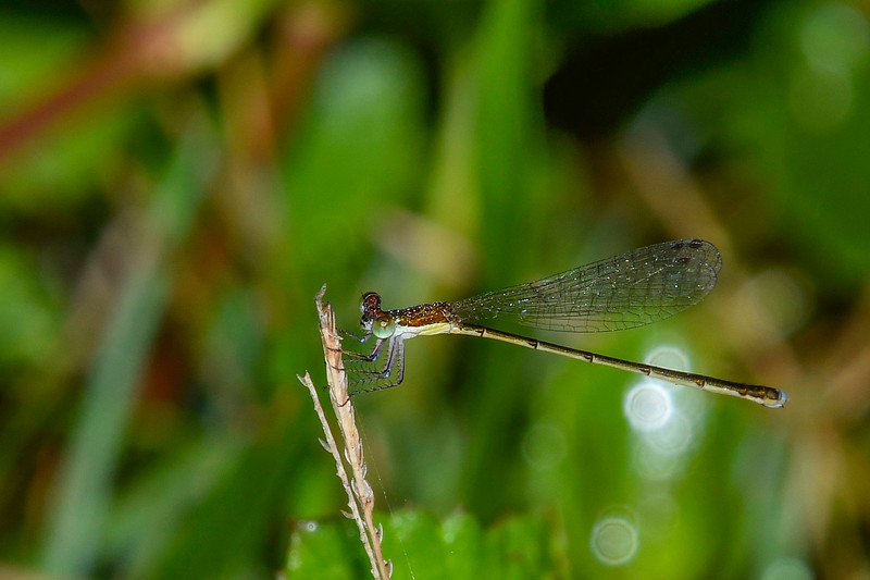 FurtiveForktail(female)-MarlBedFlatsTract-LakeJesupConservationArea-SJS-001