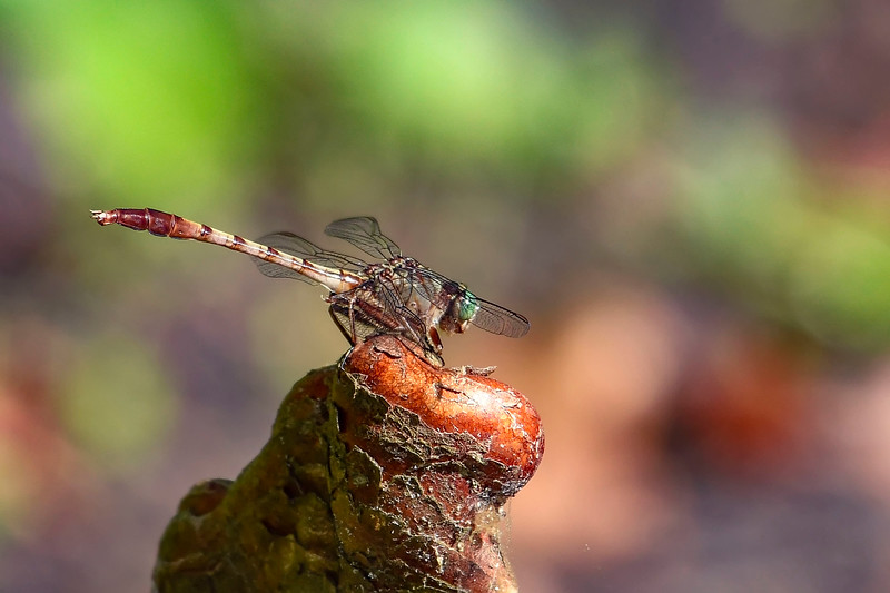 GrayGreenClubtail(female)-MeadGardens-4-22-20-SJS-001