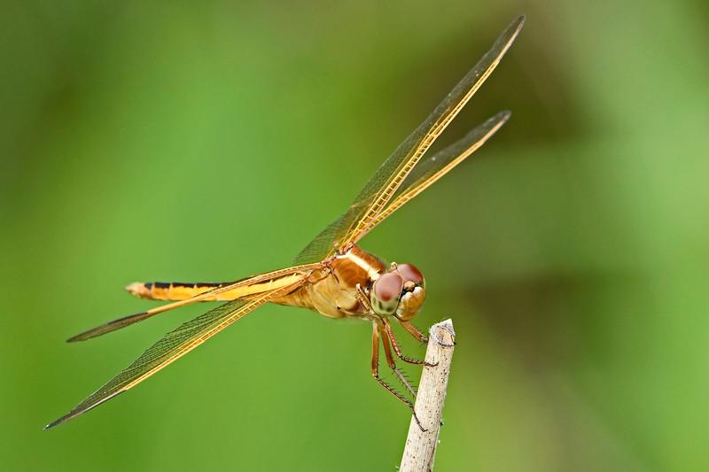 Golden-wingedSkimmer-Alabama-6-18-18-SJS-004