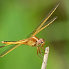 Golden-wingedSkimmer-Alabama-6-18-18-SJS-004