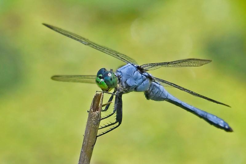 BlueDasher-EmeraldaMarsh-FL-7-24-18-SJS-015