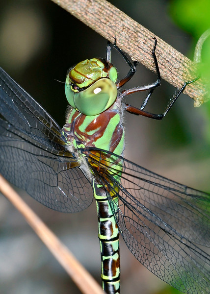 RegalDarner(male)-SawgrassIsland-6-23-19-SJS-006