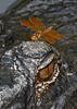 EasternAmberwing&Gator-8-13-19-SJS-007