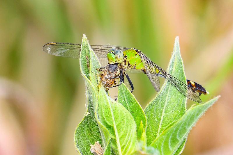 EasternPondHawk(female)-EmeraldaMarsh-3-23-20-SJS-001
