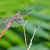 RoseateSkimmer(female)-OaklandNaturePreserve-6-14-19-SJS-009