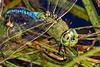 GreenDarner-OcalaWetland-10-1-20-sjs-05