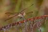 Golden-WingedSkimmer-SawgrassIslandPreserve-9-13-19-SJS-001