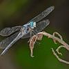 GreatBlueSkimmer(male)-OaklandNP-7-10-19-SJS-008